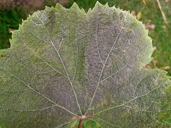 hálčivec révový - poškození listu letní generací (foto Jaroslav Rod)