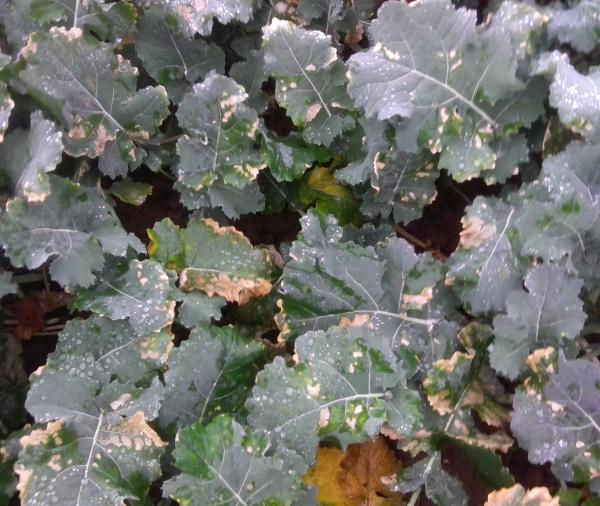 Jemné poškodenie listov - aplikácia hnojiva DAM, bežné herbicídne trysky (7. 11. 2014)