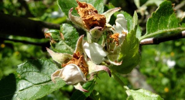 Poškození poupat květopasem jabloňovým