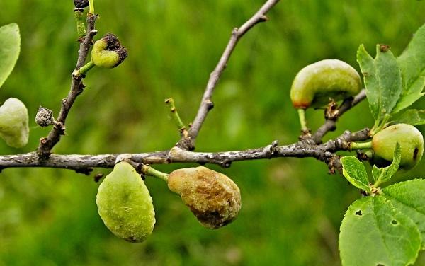 Poškození plodů švestek puchrovitostí
