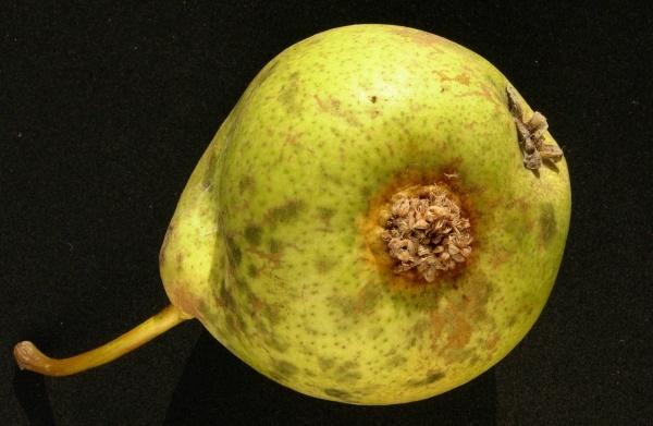 Rzivost hrušně - příznaky na plodech