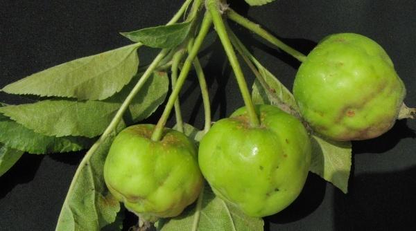 Poškození plodů mšicí jabloňovou