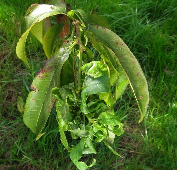 Poškození listů mšicí hnízdotvornou na broskvoni