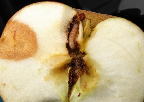 Obaleč jablečný - housenka