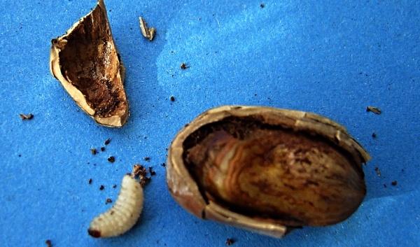 Nosatec lískový - larva