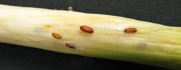 Puparia vrtalky pórové