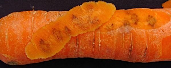 Poškození kořenu pochmurnatkou mrkvovou