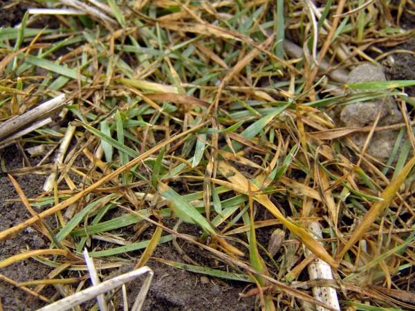 Obr. 2: Působení herbicidu Axil Plus (pinoxaden) na plně odnoženou chundelku metlici vkolejové meziřádku