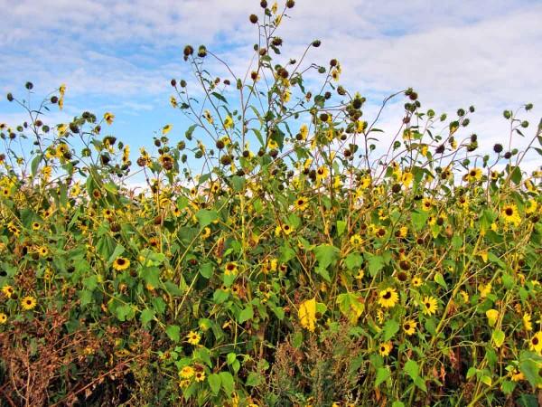 8.Okraj pozemku se silným výskytem plevelné slunečnice
