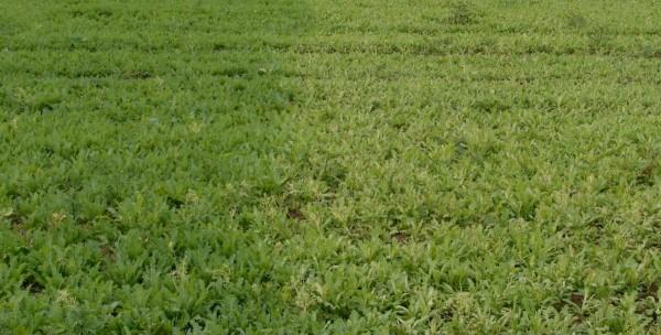 Poškození máku (pravá polovina obrázku) způsobené herbicidem Callisto 480 SC vTM kombinaci slistovým graminicidem (Fusilade Forte 150 EC)