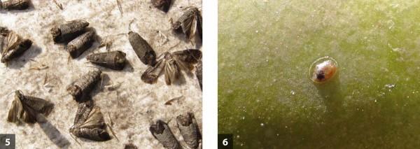Pro obaleče jablečného je kompletně zpracován program ochrany pro ekologickou produkci, ato pomocí feromonů, viru adoplňkově spinosadem: úlovky dospělců vlapáku - 5 avajíčko vefázi černé hlavičky - 6