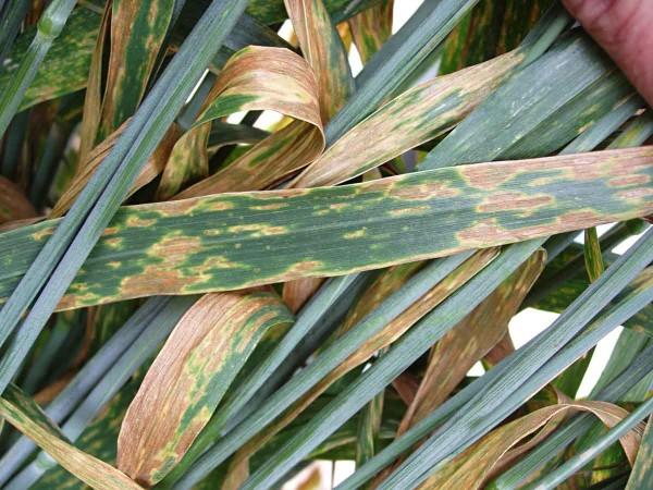Obr. 3: Septoriová skvrnitost pšenice