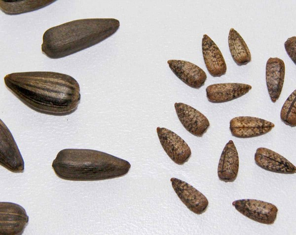 1.Porovnání velikosti nažek kulturní slunečnice (vlevo) aslunečnice plevelné (vpravo)