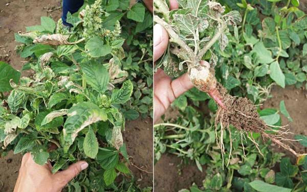 Obr. 1: Slabá účinnost herbicidů na laskavec ohnutý ipo opakované aplikaci (Maťovce, 15. 6. 2018)