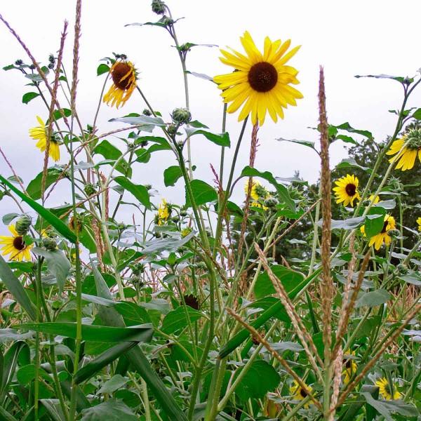 Plevelná slunečnice vkukuřici