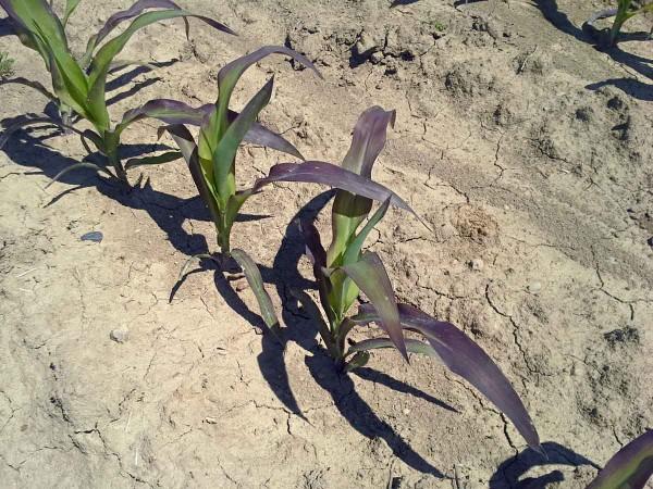 Obr. 1: Působení půdního škraloupu vytvořeného 35. den po zasetí kukuřice na růst avývoj porostu: symptomy žloutnutí, zakrnělého růstu spokročilým projevem hyperchlorofylace (fialovění) listů vlivem déletrvajícího omezeného příjmu fosforu (obsah P = 0,22 % vsušině, tj. 58 % optima výživy P)