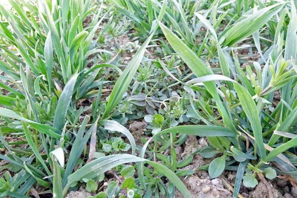 Obr. 1: Optimální termín pro jarní herbicidní ošetření ozimých obilnin - další vyčkávání může vést ke snížení účinnosti