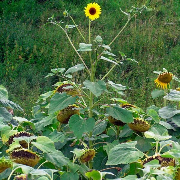 3.Některé srostliny plevelné slunečnice jsou natolik pozdní, že začínají kvést až vdobě, kdy kulturní slunečnice již odkvetla