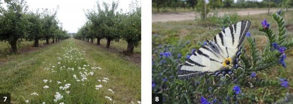 Udržování kvetoucích pásů vmeziřadí - 7 je nejen podporou výskytu přirozených nepřátel, ale idalších druhů živočichů: otakárek ovocný - 8