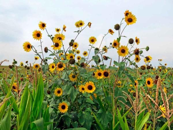 6.Plevelná slunečnice může dorůstat značných rozměrů aporost plodiny obvykle výrazně přerůstá