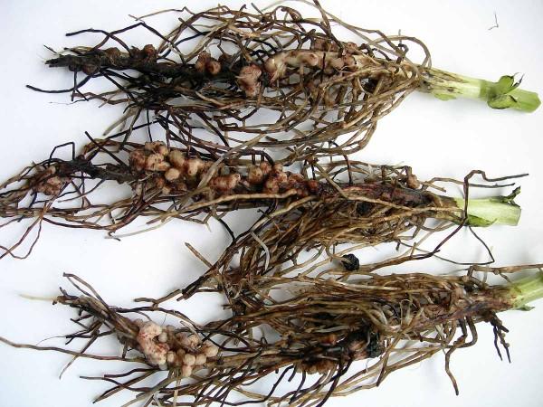 Obr. 1 Kořeny sbakteriálními hlízkami bobu obecného (odrůda Merkur) zvarianty, ve které bylo osivo ošetřeno směsí hub Clonostachys rosea