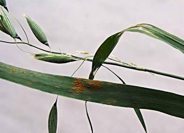 Puccinia coronata - uredia