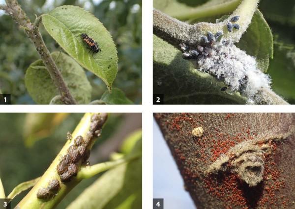 Příklady škůdců, kde se neobejdeme bez přirozené biologické ochrany: 1 - kolonie mšice jabloňové slarvou slunéčka, 2 - vlnatka parazitovaná mšicovníkem, 3 - nymfy mery skvrnité, 4 - diapauzní vajíčka svilušky ovocné