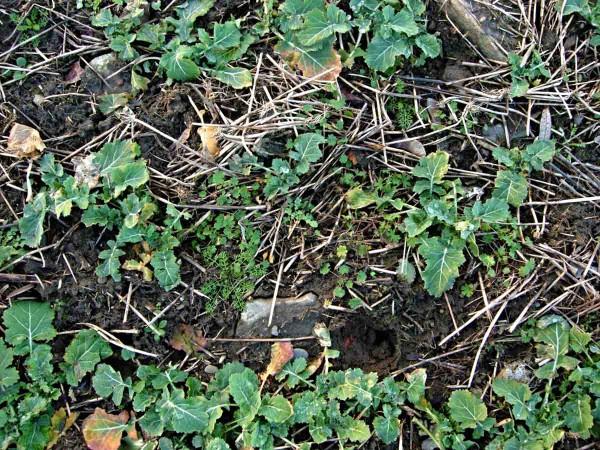 Plevele vřepce lze odstranit ina jaře