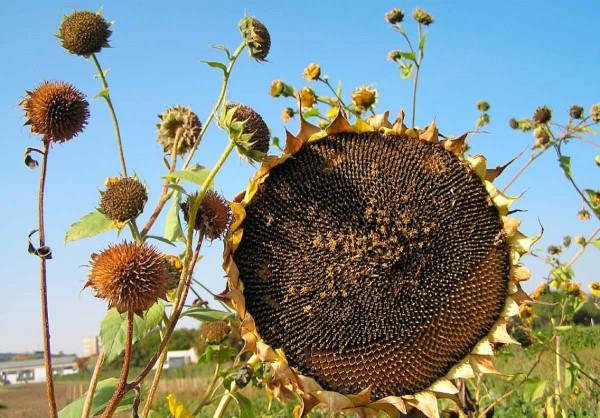 9.Oproti kulturní slunečnici vytváří plevelná forma větší množství mnohem drobnějších úborů, ze kterých nažky bezprostředně po dozrání snadno vypadávají