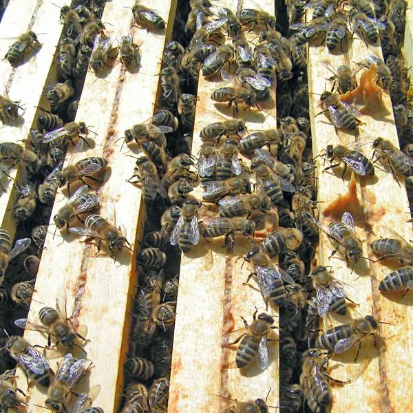 Obr. 2: Včely spolu vúlu intenzivně komunikují