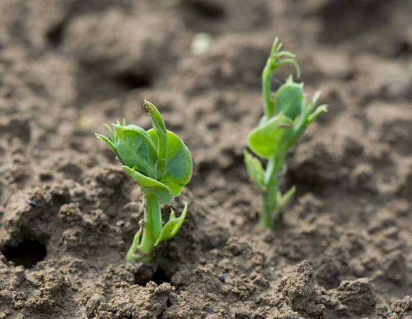 Plevele vzcházejí velmi rychle, prakticky zároveň se vzcházejícími rostlinami hrachu, popř. již krátce před vzejitím hrachu