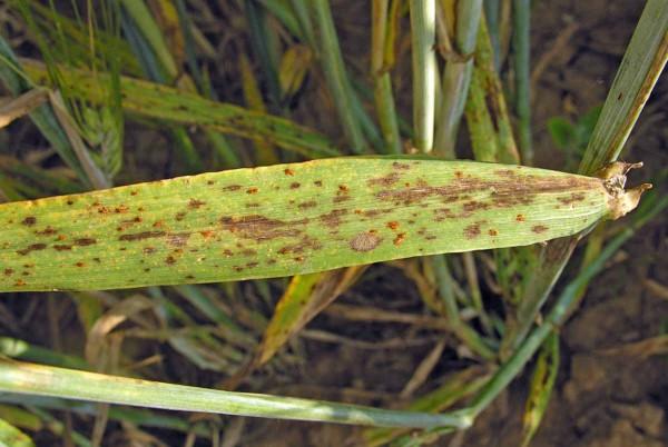 Puccinia hordei - příznaky na listu, náchylná odrůda klistovým skvrnitostem