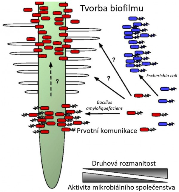 Obr.: Jednoduché znázornění soutěže bakteriálních buněk v kolonizaci kořenového systému (zdroj: Phillip Poole: Shining a light on the dark world of plant root-microbe interaction, PNAS April 25, 2017 114 (17) 4281–4283)