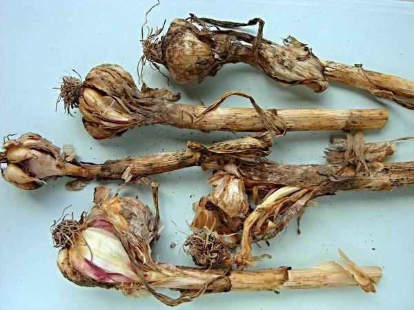 Česnek poškozený houbovými chorobami