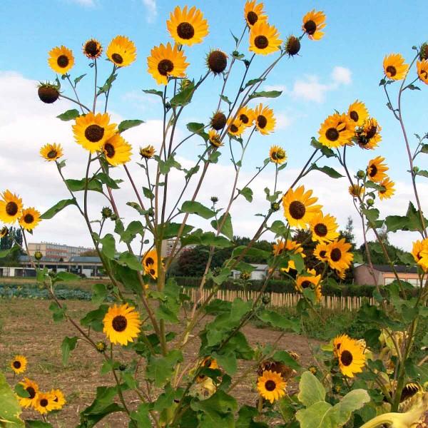 7.Každá rostlina plevelné slunečnice může vytvořit desítky úborů (u bohatě rozvětvené rostliny na okraji porostu napočítáno až 200 úborů)