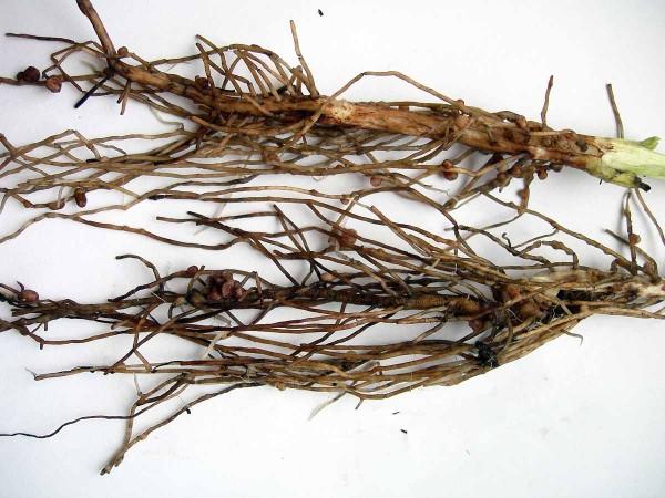 Obr. 2 Kořeny sbakteriálními hlízkami bobu obecného (odrůda Merkur) zkontrolní neošetřené varianty