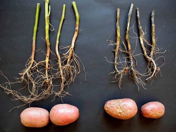 Obr. 3 Kořeny ahlízy brambor zvarianty ošetřené houbami Clonostachys rosea (vlevo) az kontrolní varianty (vpravo)