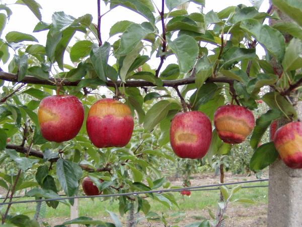 Mrazová pásová rzivost slupky jablek