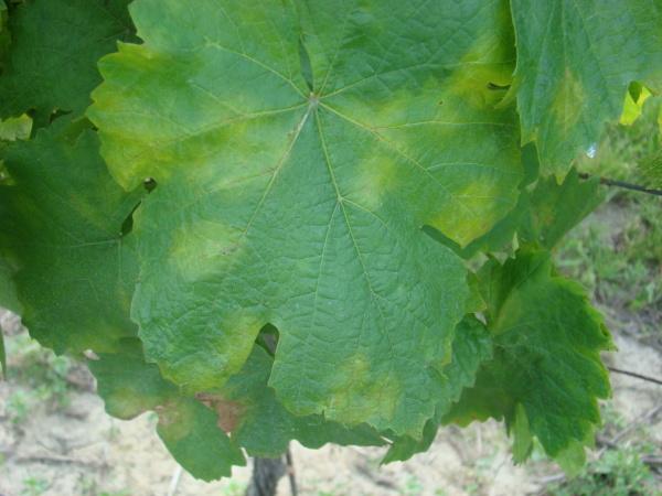 Plíseň révy - světložluté difúzní skvrny na listech révy