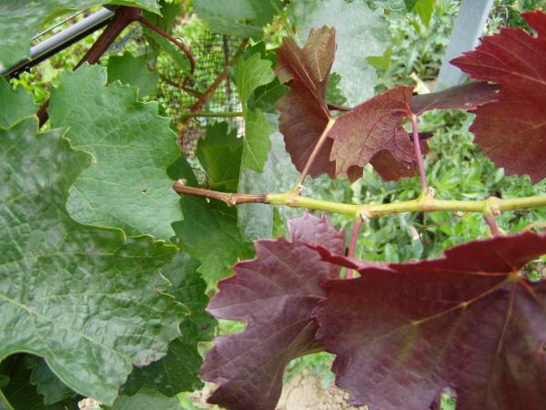 Ostnohřbetka ovocná - poškození vrcholu letorostu révy