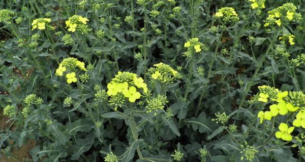 Začátek květu řepky - volíme bezpečné insekticidy pro včely