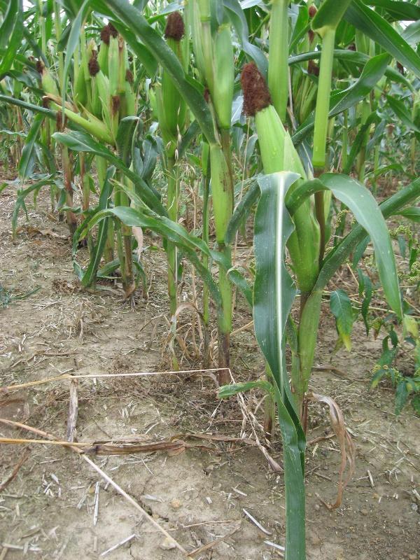 Obr. 10: Stav povrchu půdy před sklizní kukuřice na variantě 5 (10.9.2009) (foto Brant)
