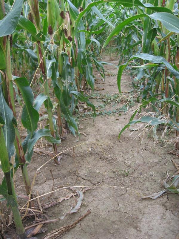 Obr. 9: Stav povrchu půdy před sklizní kukuřice na variantě 4 (10.9.2009) (foto Brant)