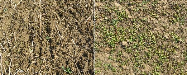 Obr. 4: Vliv rozdílného vývoje porostů hořčice bílé na stav povrchu půdy vjarním období, vlevo povrch pozemku po zapojeném porostu hořčice (foceno 8.4.2008), vpravo po špatně vzešlém porostu na podzim (31.3.2009).