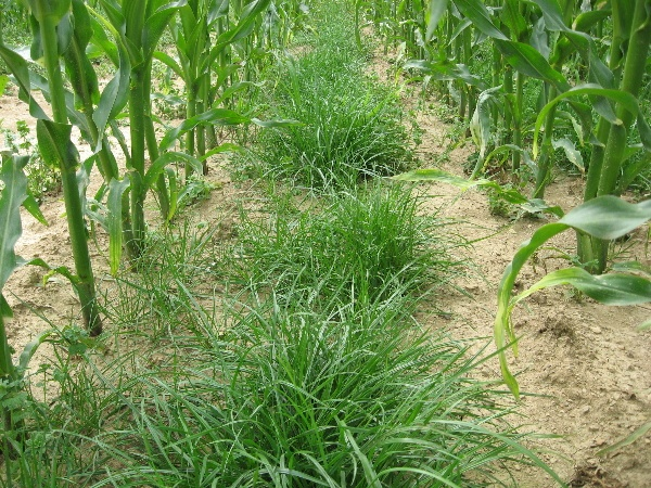 Obr. 6: Opětovný rozvoj rostlin jílku vytrvalého na variantě 2 (9.7.2009) (foto Brant)