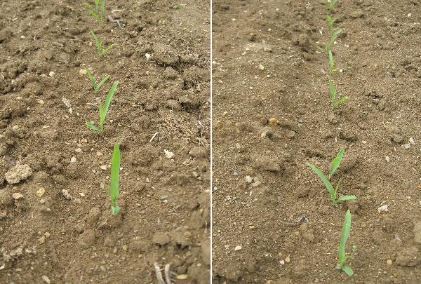 Obr. 7: Stav povrchu půdy vřádku kukuřice na variantách 3 (vlevo) a4 (19.5.2009) (foto Brant)