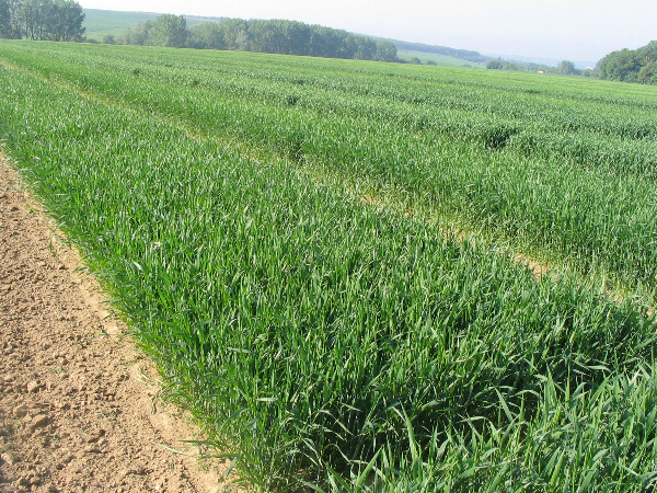 Experimentálne políčka pšenice letnej formy ozimnej (EXBA Dolná Malanta)