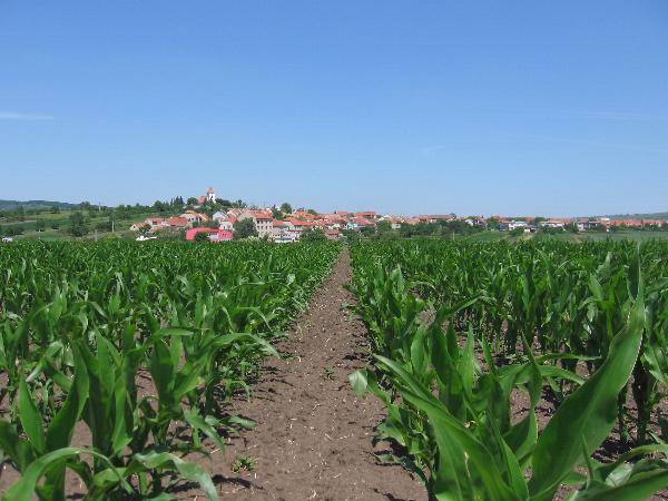 Porast kukurice siatej (EXBA Dolná Malanta)