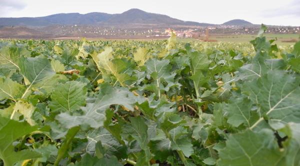Vývoj porostu na podzim apřezimování rostlin jsou svýživou řepky úzce spjaty avzájemně se ovlivňují