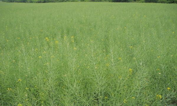 Přestože vrchol příjmu většiny živin uřepky nastává vobdobí tvorby šešulí, je uněkterých živin důležité hnojení již před založením porostů